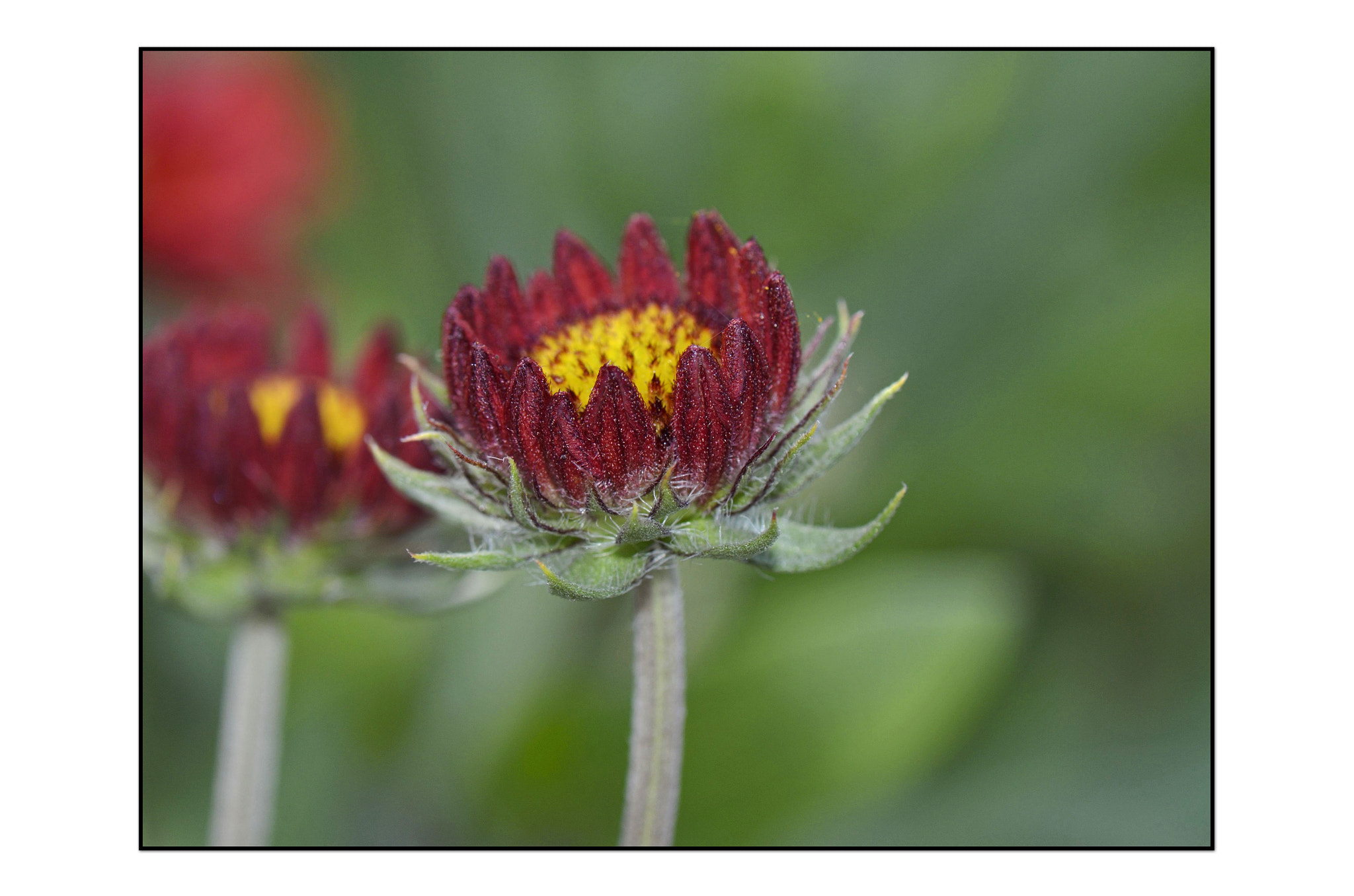 Photograph Indian blanket by Angella Parker on 500px