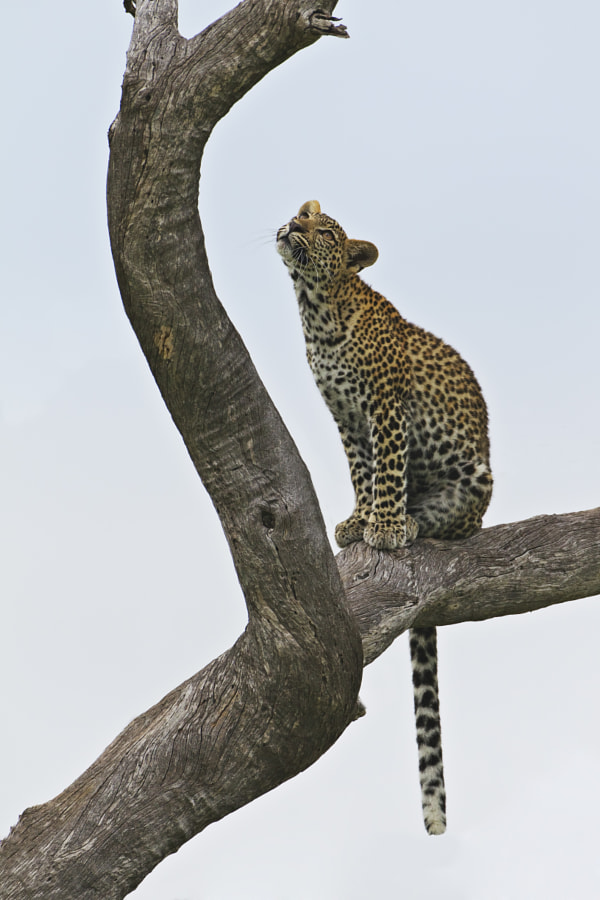 Well somebody asked for more!  Here she is planning her next move, taken in Savute ,  Botswana