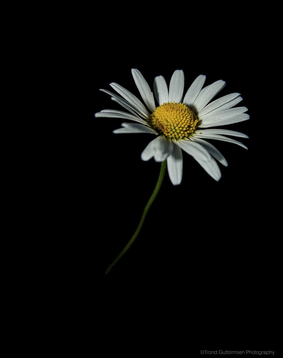 Photograph Daisy by Trond Guttormsen on 500px