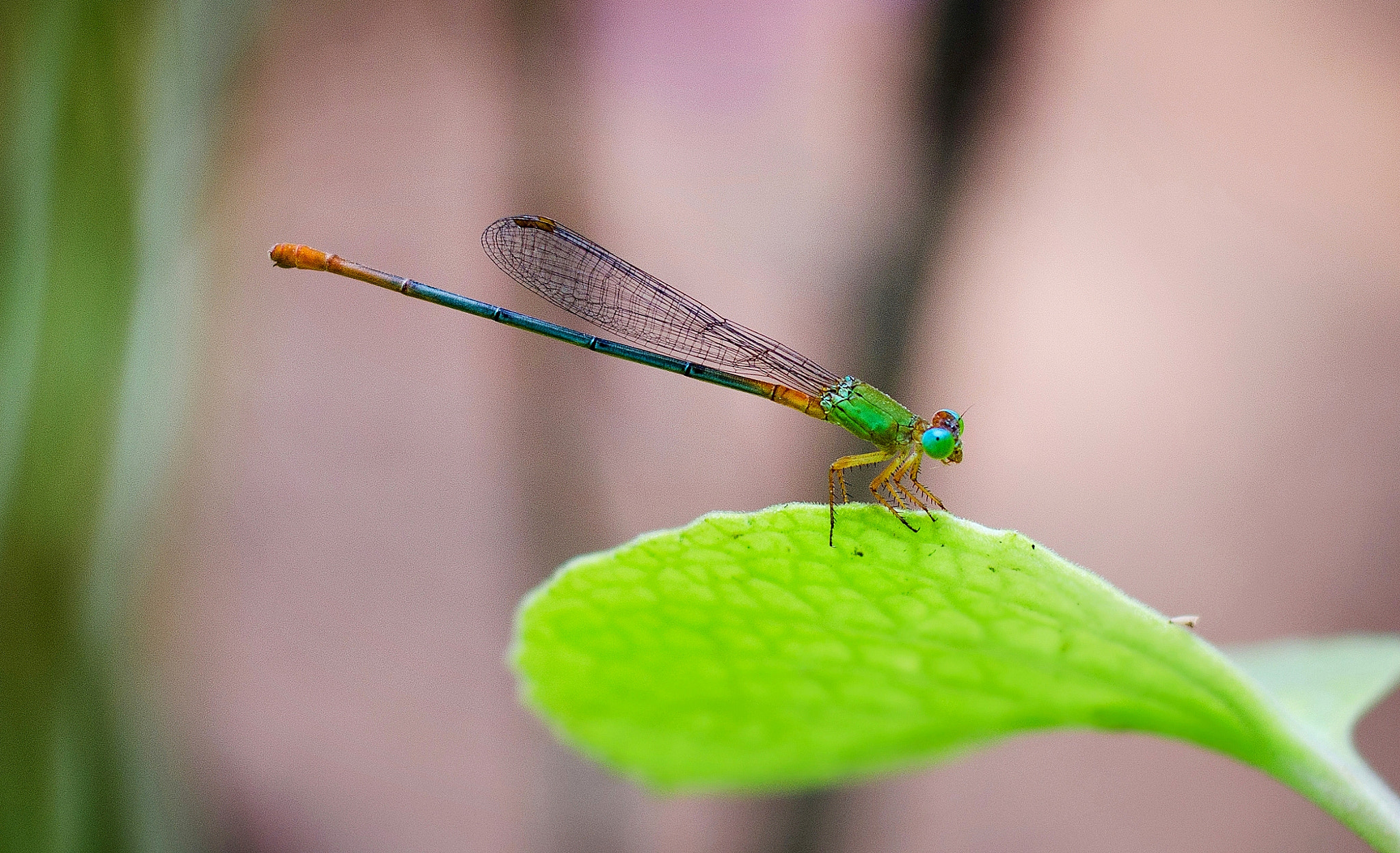 Photograph Damselfly by Subhash Radhakrishnan on 500px
