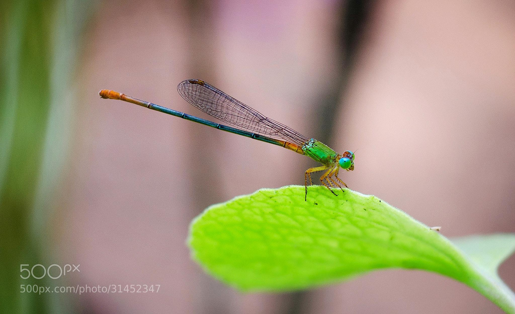 Photograph Damselfly by Subhash Radhakrishnan on 500px