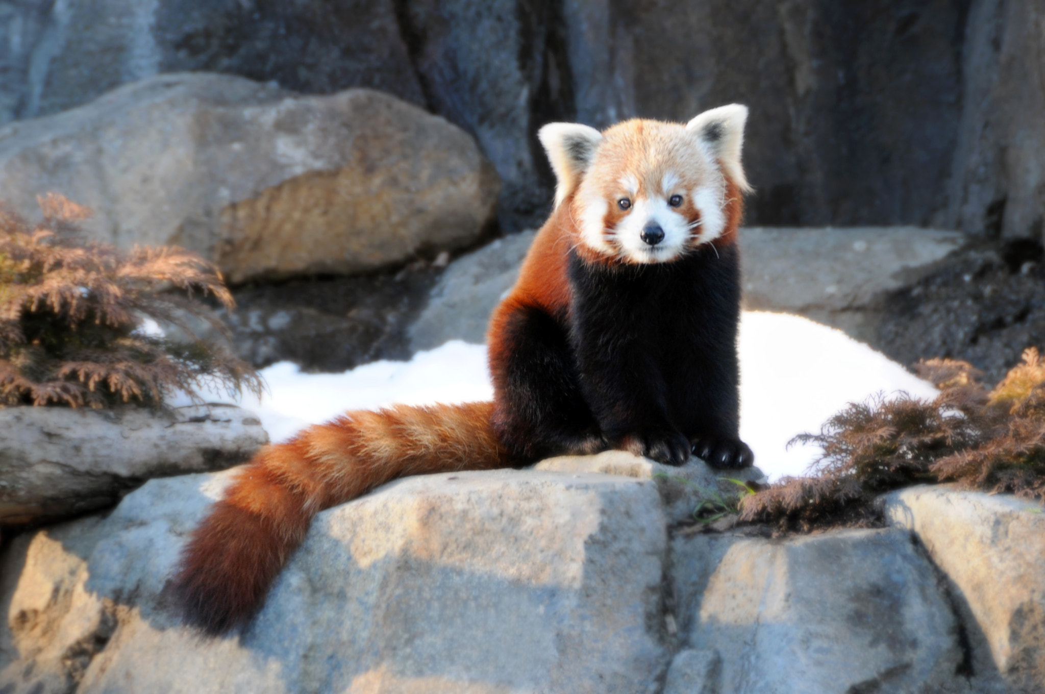 Photograph I'm the cutest red panda in the world... by Dalia Bseiso on 500px