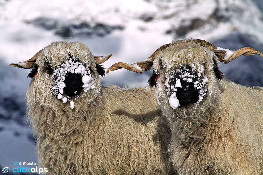 Photograph Snowy Blacknose Sheep by Roberto Sysa Moiola on 500px