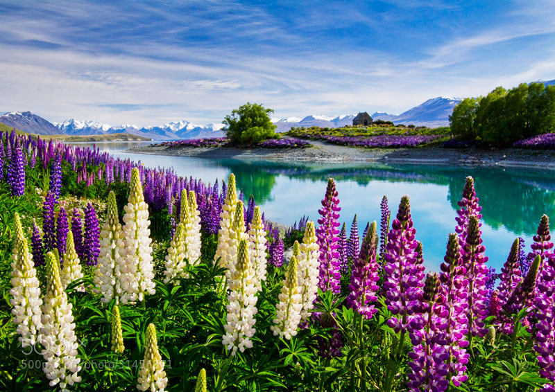 Photograph Lupinicious by David Hardy on 500px