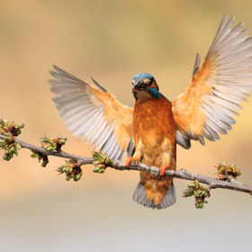 *Kingfisher's Wings*