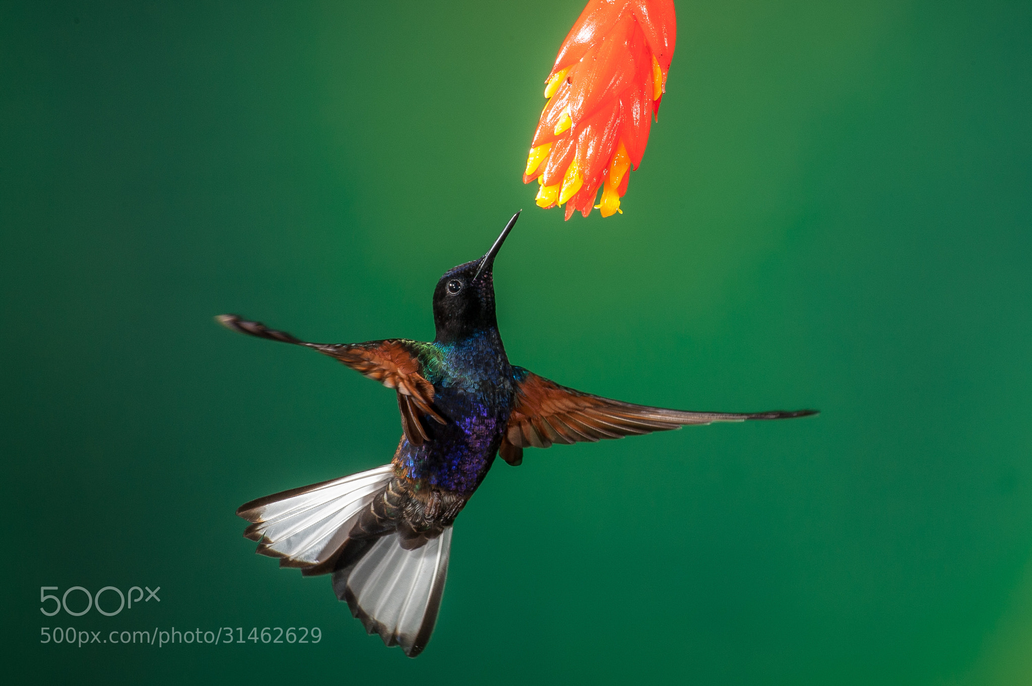 Photograph Hummingbird by Gorazd Golob on 500px