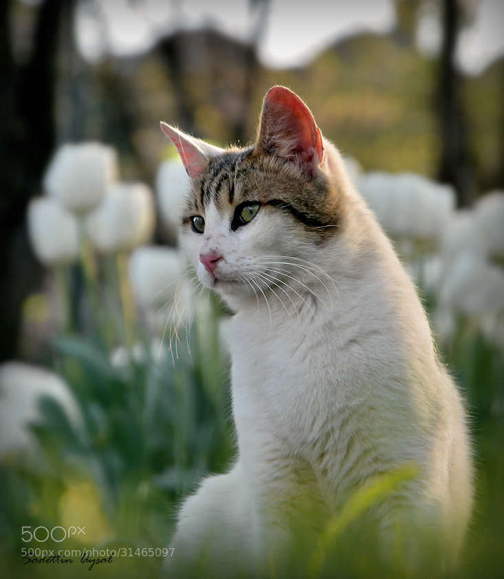 Photograph Spoiled Cat by Sadettin  Uysal on 500px
