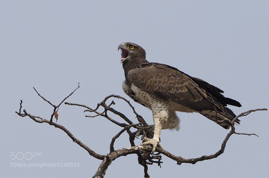 Claimed to be Africa's largest Eagle, but disputed by others in favour of the African Crowned Eagle.  This was taken in Mana Pools NP, Zimbabwe