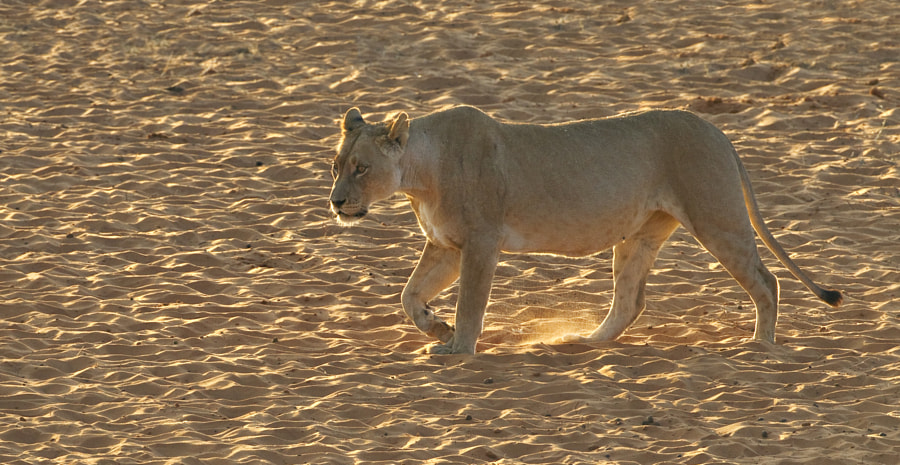 This Lioness approches Gharagab waterhole early in the morning, in Kgalagadi Transfrontier Park, South Africa