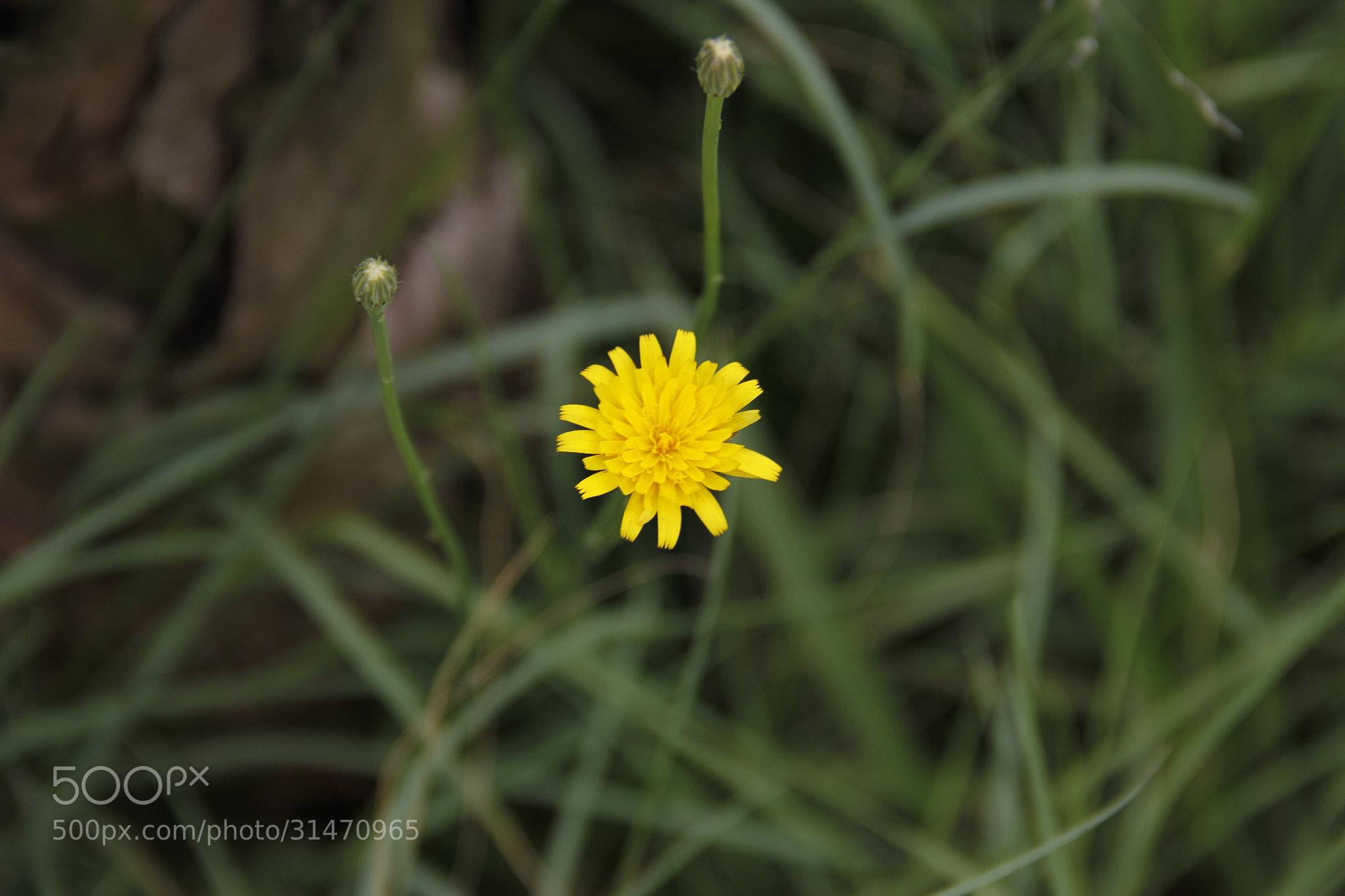 Photograph flor amarela by Daniel Antunes on 500px