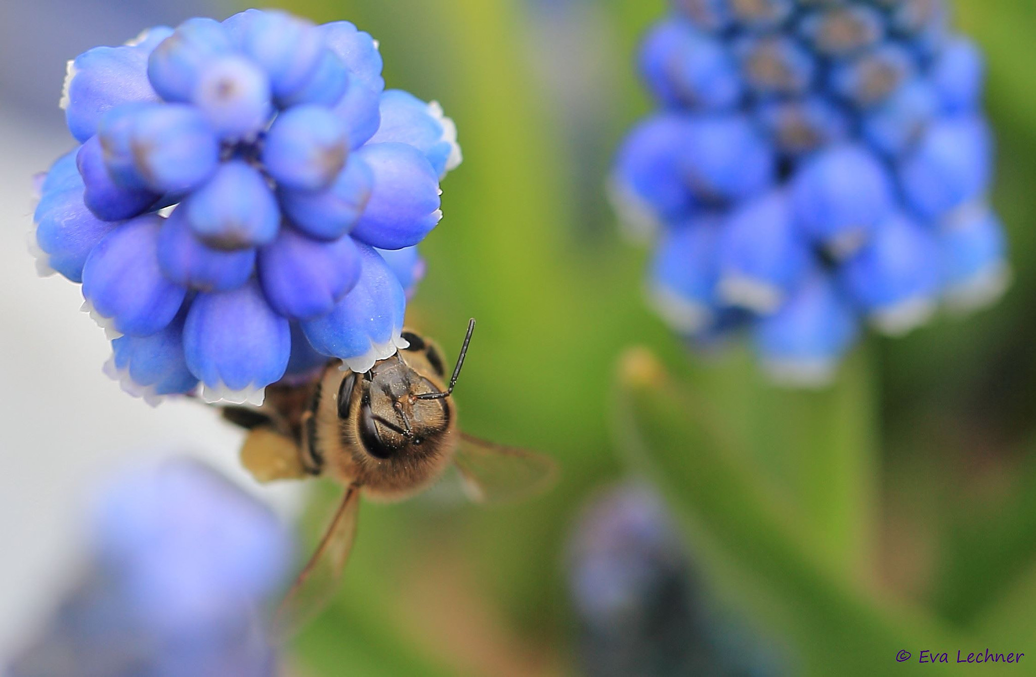 Photograph Muscari & Bee by Eva Lechner on 500px