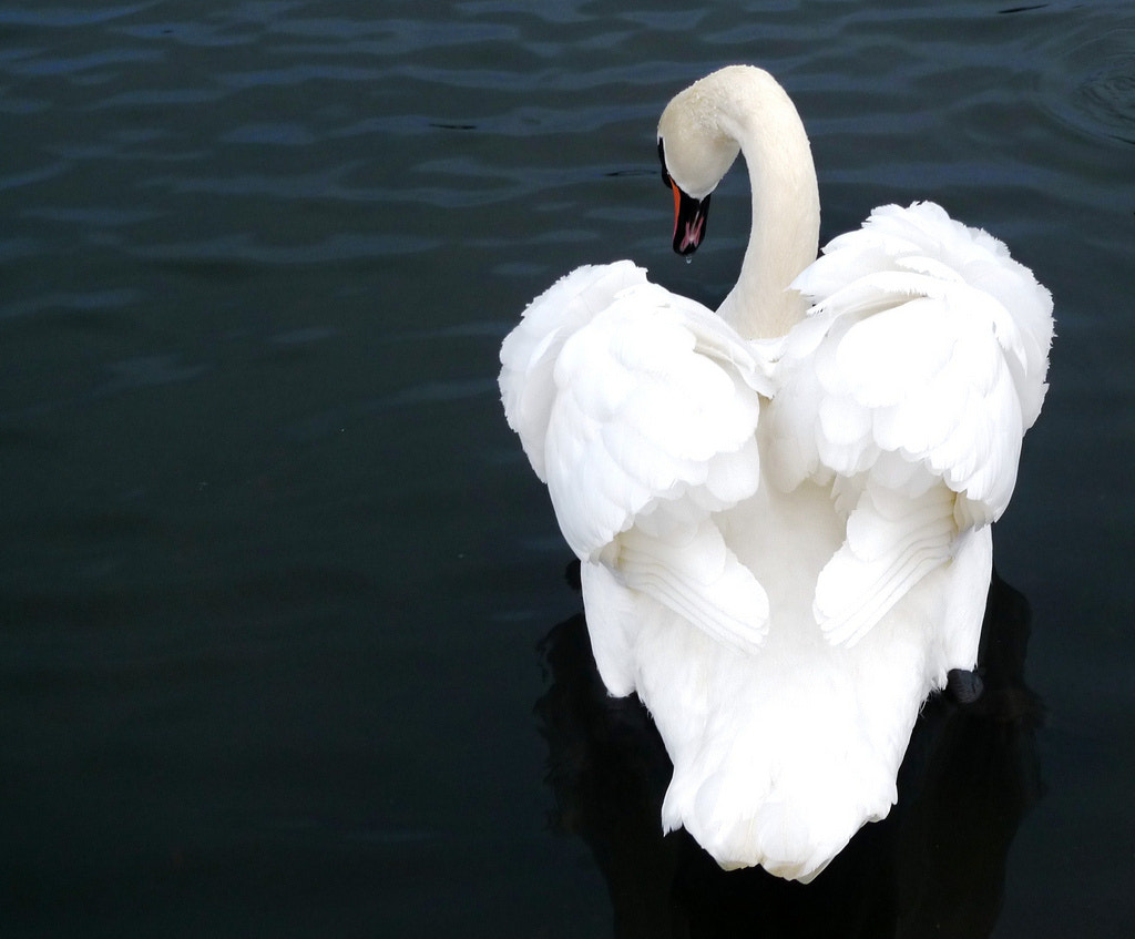 Photograph A White Swan by Raihanna Jay on 500px