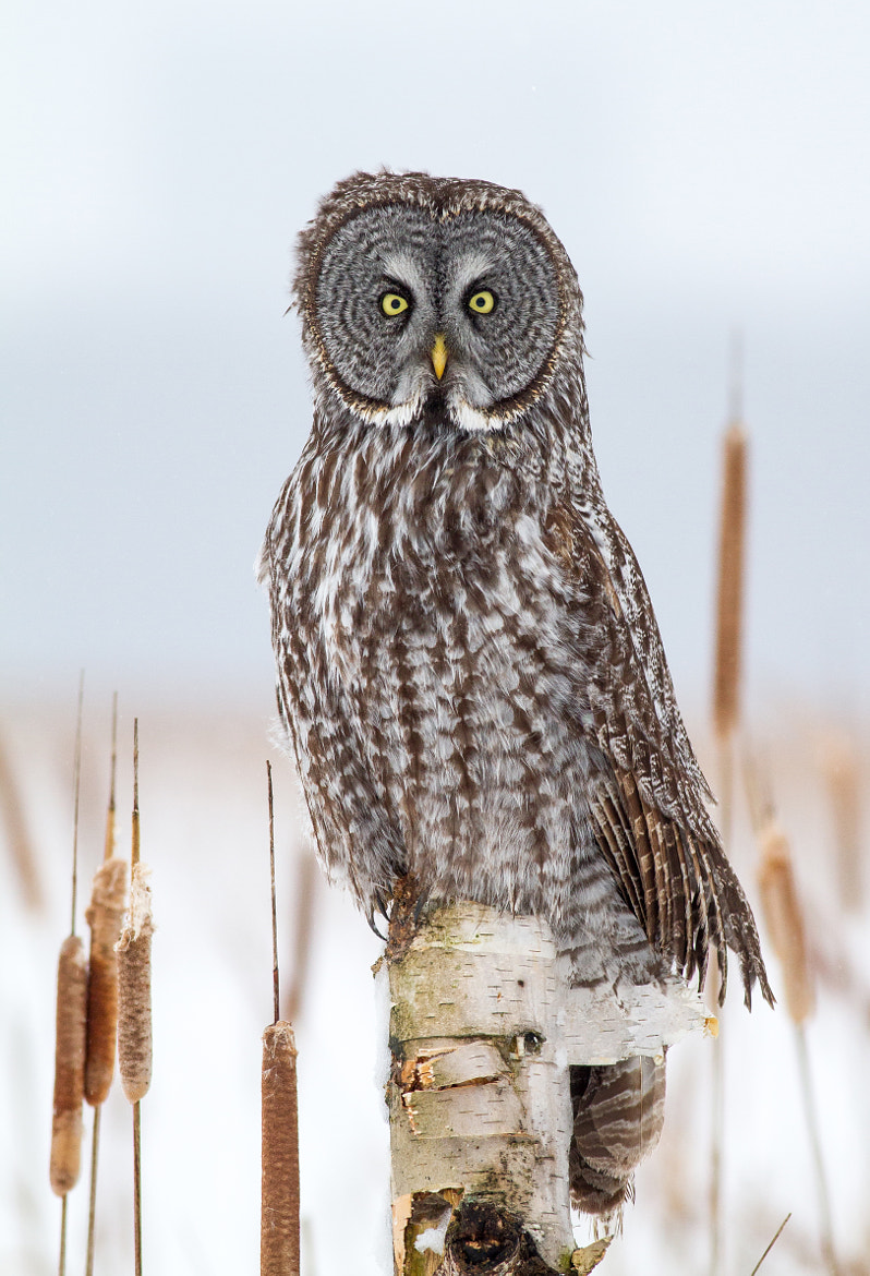 Photograph Great Gray Owl on Birch by Bill McMullen on 500px