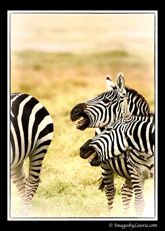 Zebras (Amboseli National Park, Kenya)