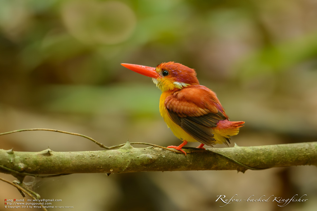 Photograph Rufous-backed Kingfisher by Wiriya Sakulthai on 500px