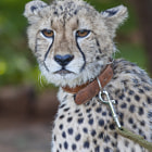 ������, ������: Cheetah six months
