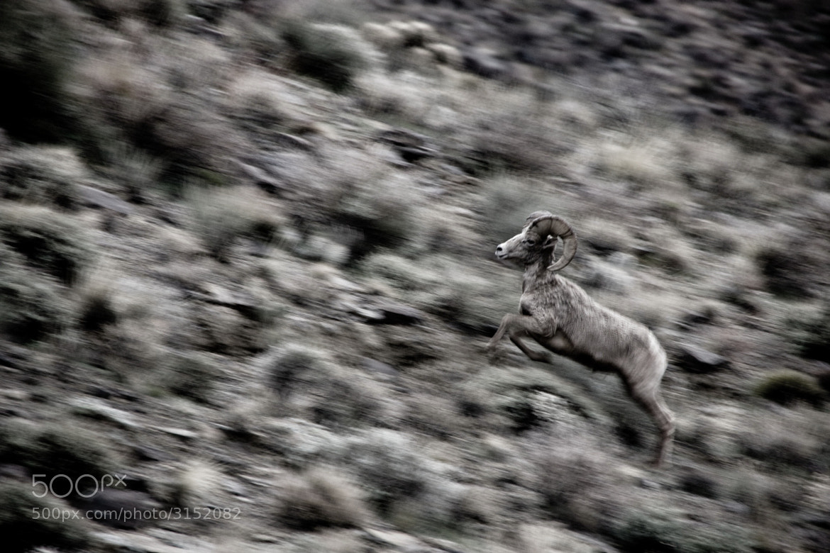 Photograph Bighorn Sheep by Craig Eckerle on 500px