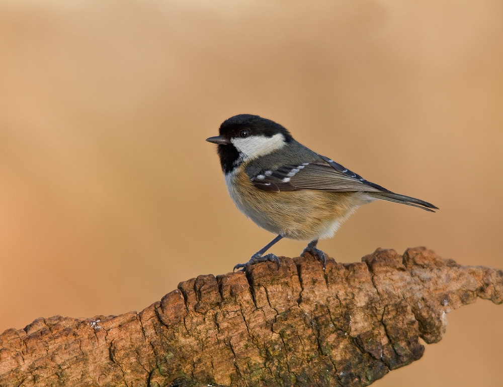 Photograph Coal Tit by Paul Rosser on 500px