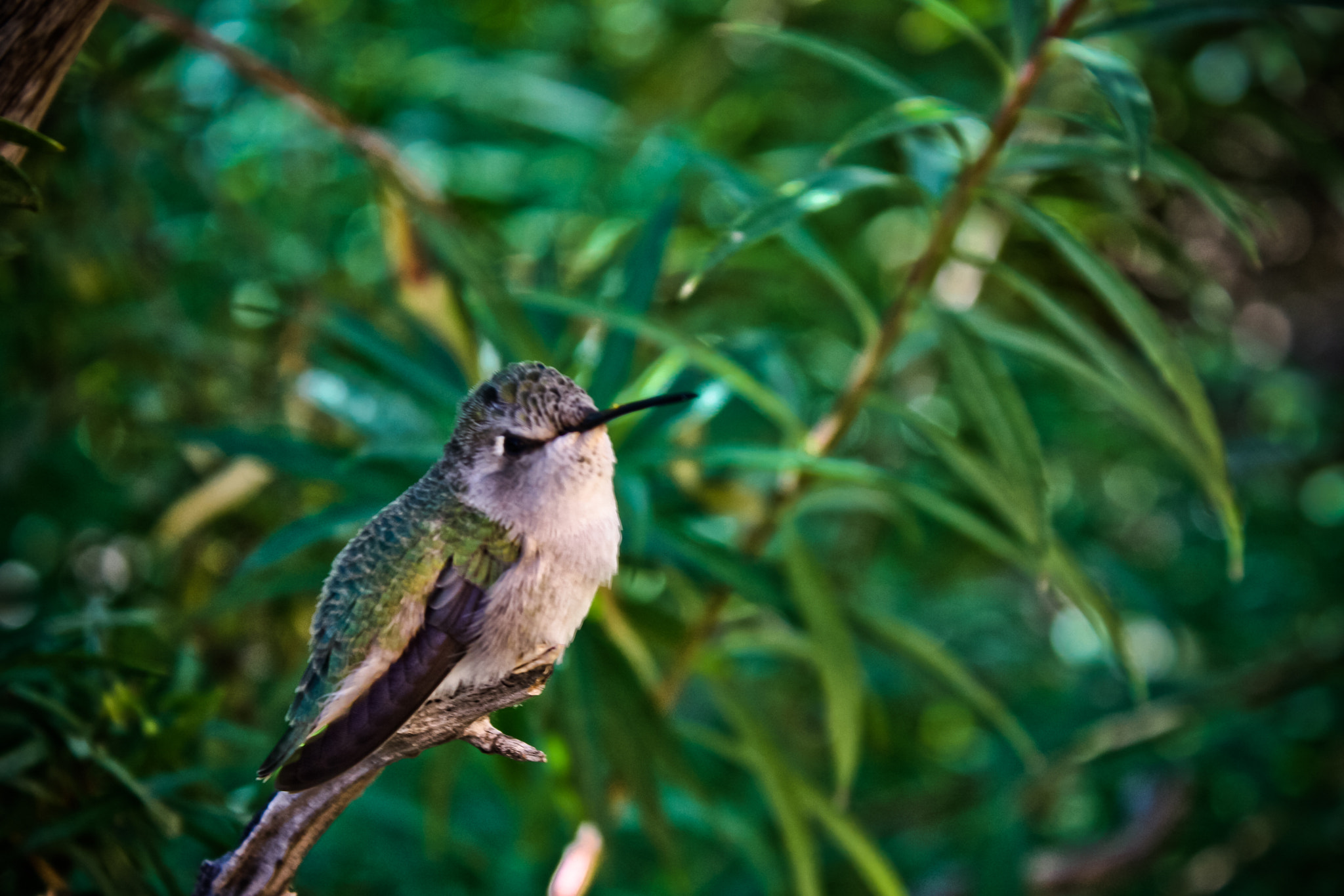 Photograph Hummingbird 3 by Kirk Wallace on 500px