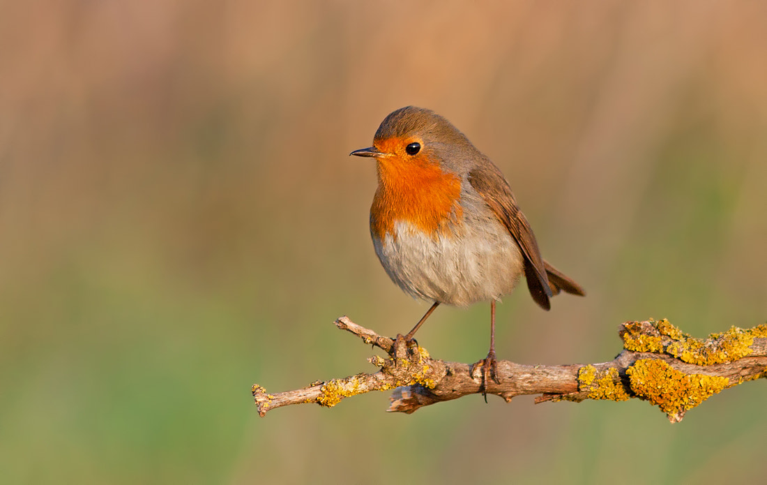 Photograph Robin by Roy Avraham on 500px