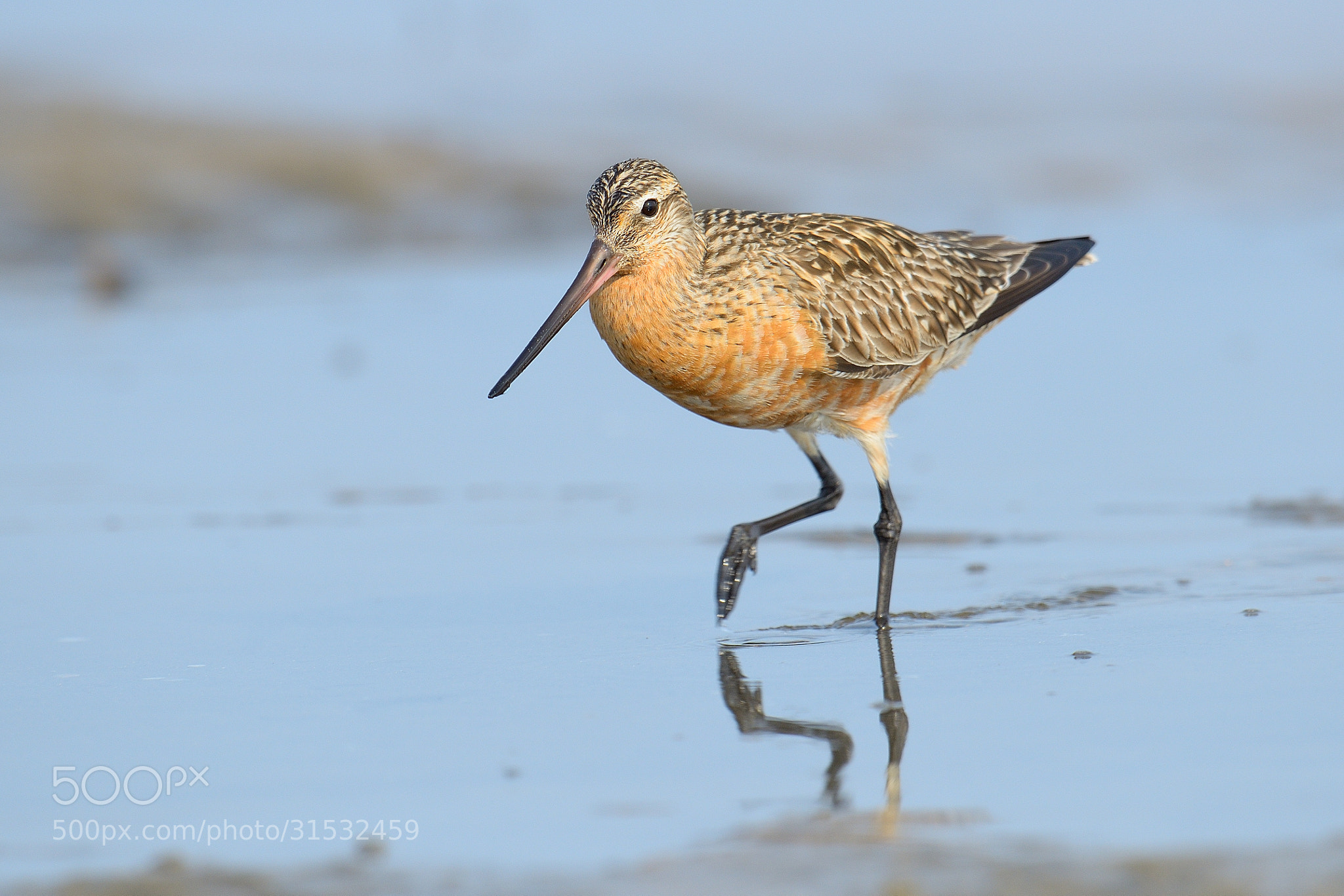 Savvy bar-tailed godwit equipped for climate challenge