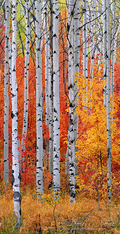 Photograph Aspen and Maple by David C. Schultz on 500px