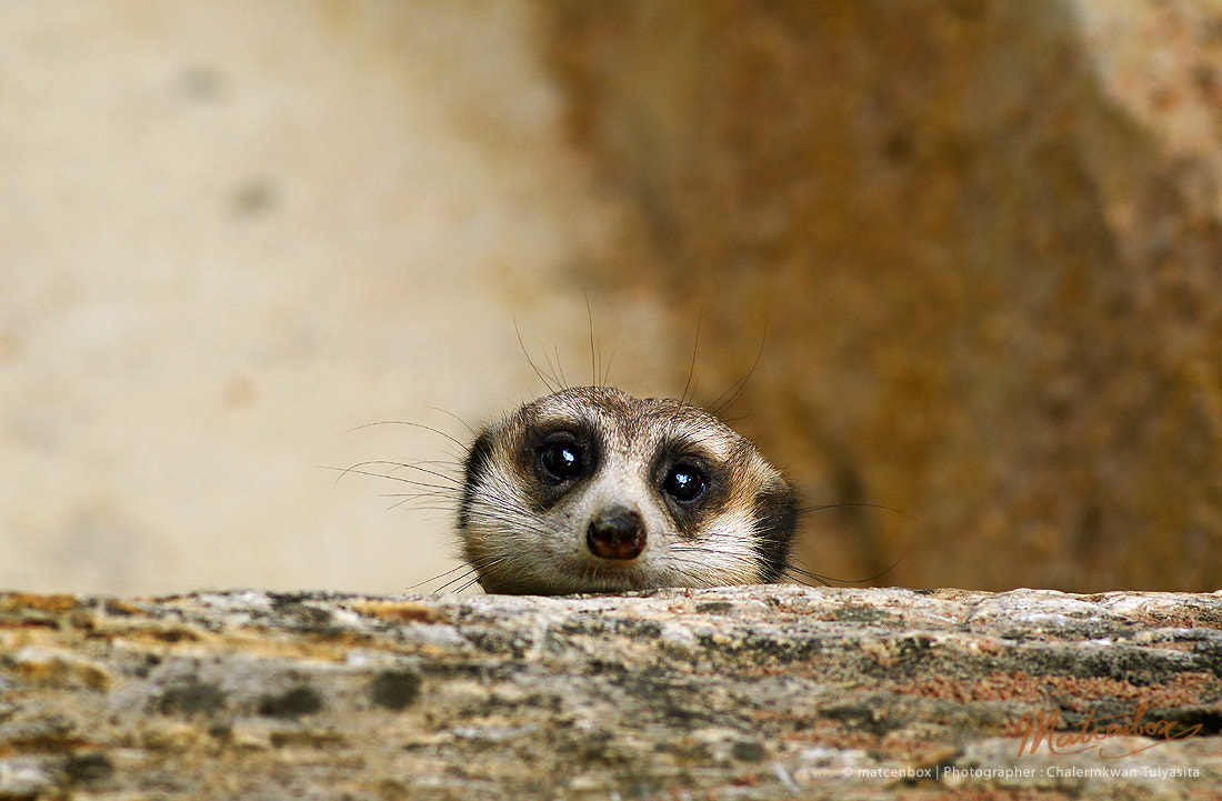 Photograph Shy Meerkat by Matcenbox  on 500px