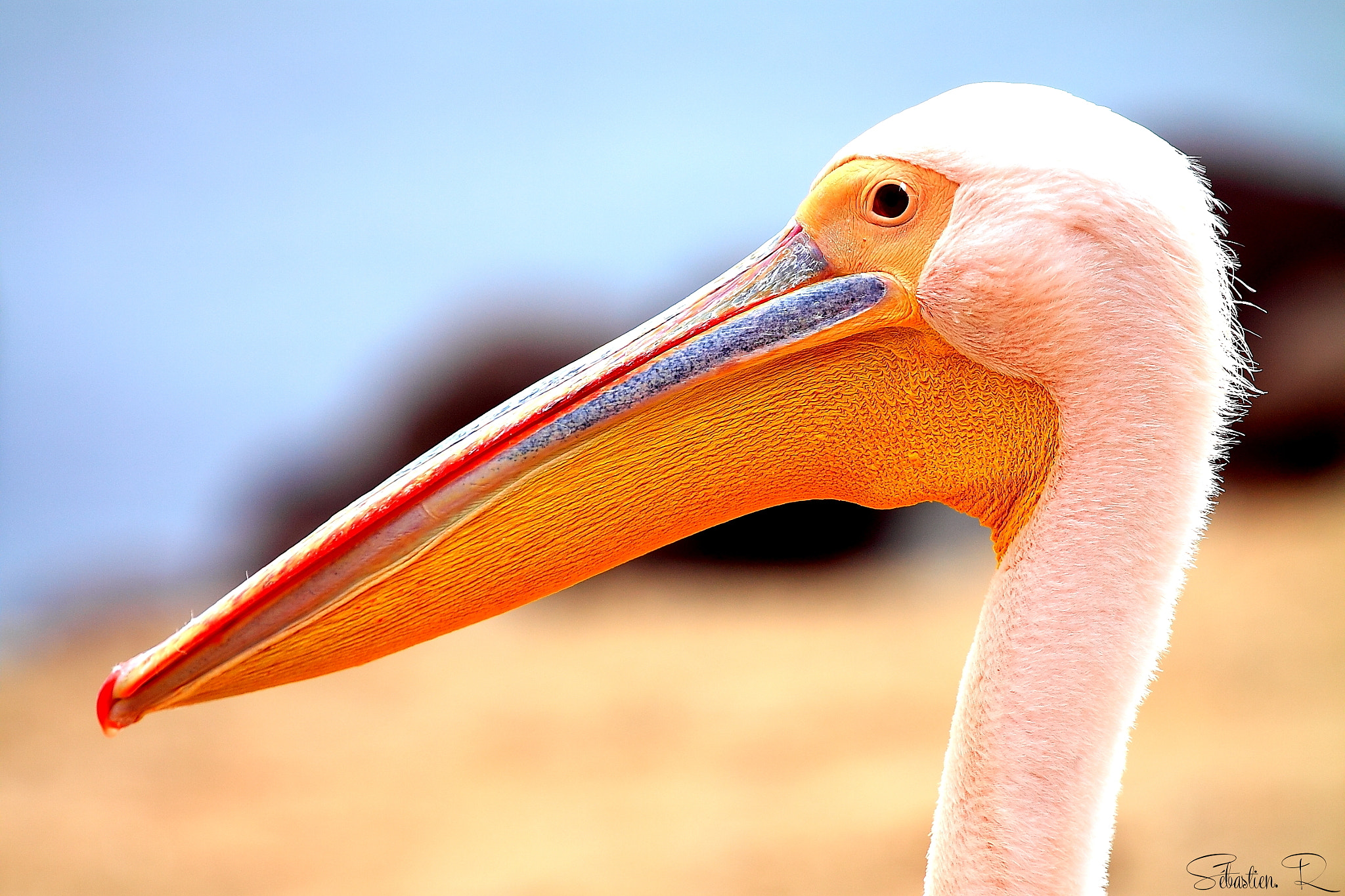 Photograph African pelican by Sébastien Rodrigues on 500px