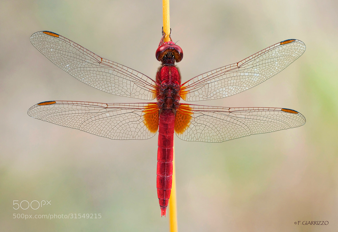 Photograph Red dragon by Fabio Giarrizzo on 500px