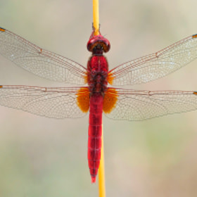Red dragon by Fabio Giarrizzo on 500px.com