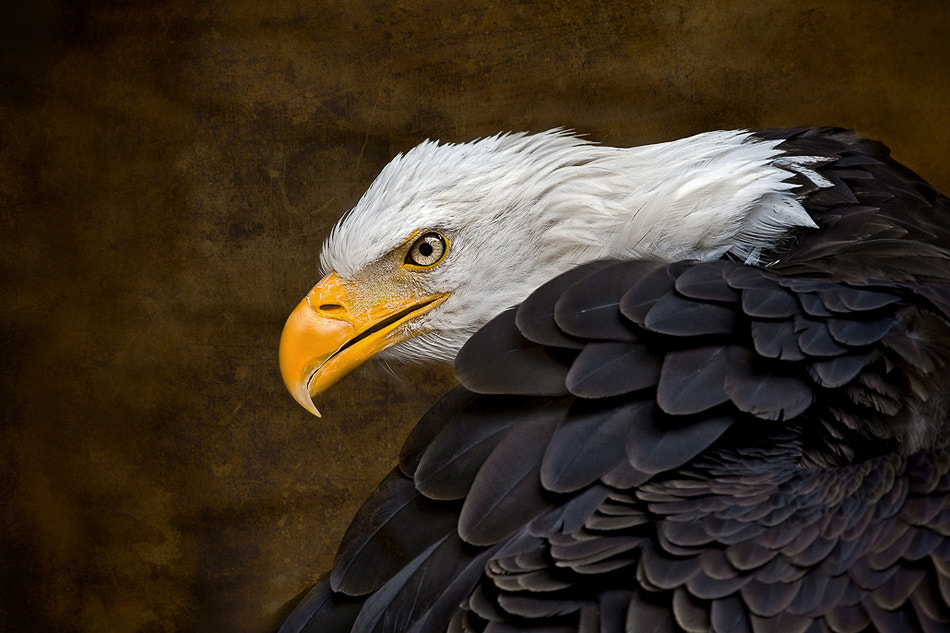 Photograph Bald Eagle by Phil  Morgan on 500px