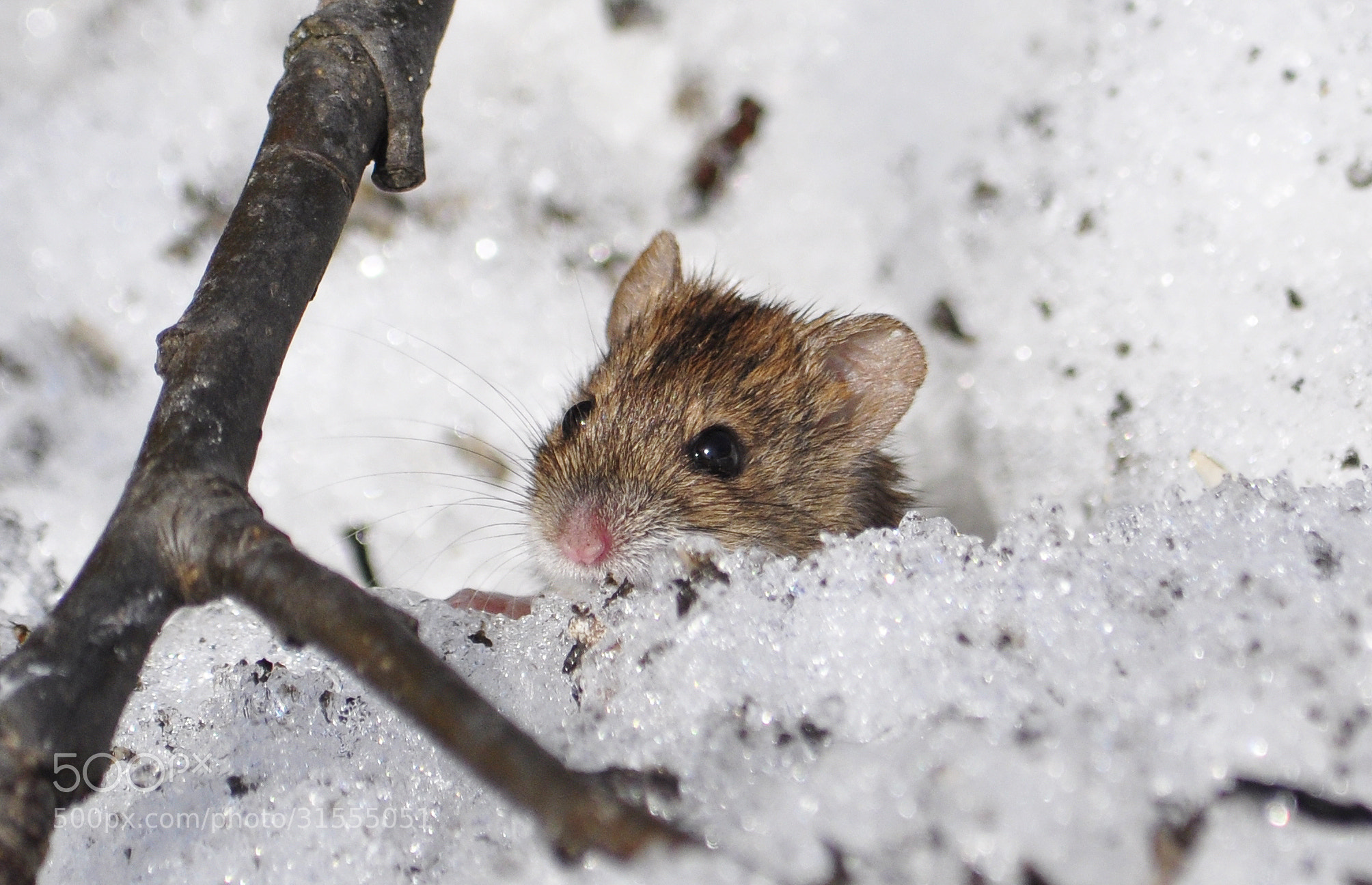 Photograph Shy mouse by Romson . on 500px