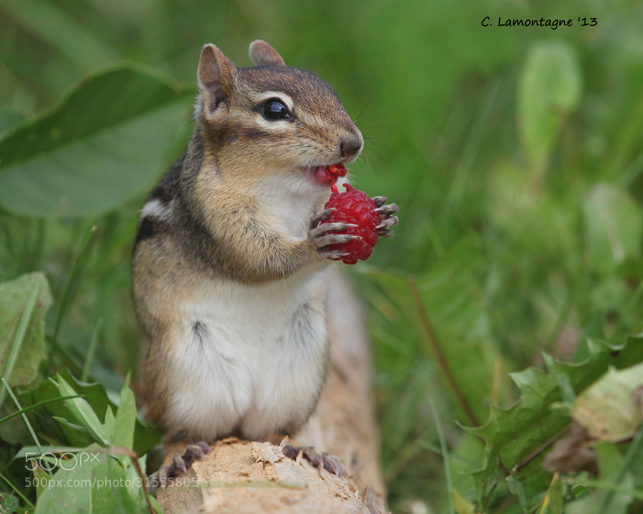 Eastern Chipmunk in my raspberry bushes. Up until then I didn't know they liked fruit.Enjoy your Saturday :)