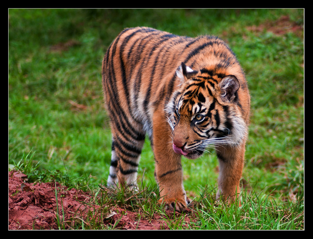 Photograph Tiger Prowl by Paul  Sherriff on 500px