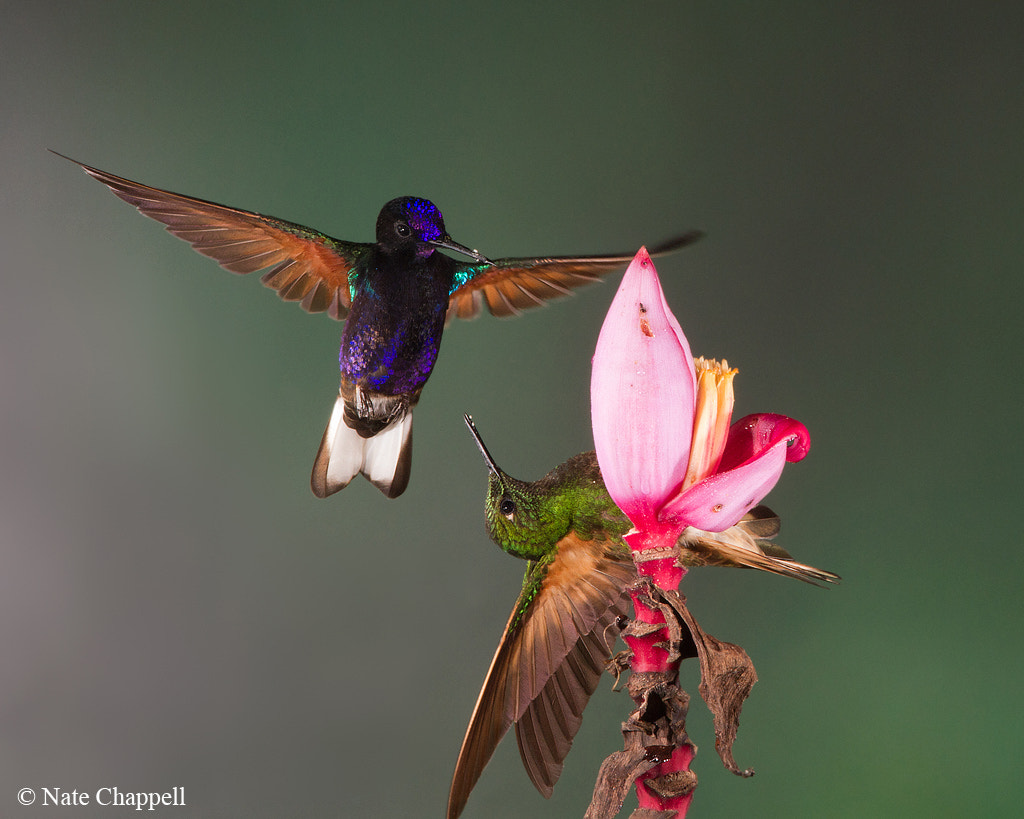 Photograph Velvet-purple (left) and Buff-tailed Coronets - Mindo, Ecuador by Nate  Chappell on 500px