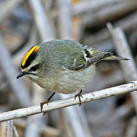 Golden-crowned Kinglet - Male