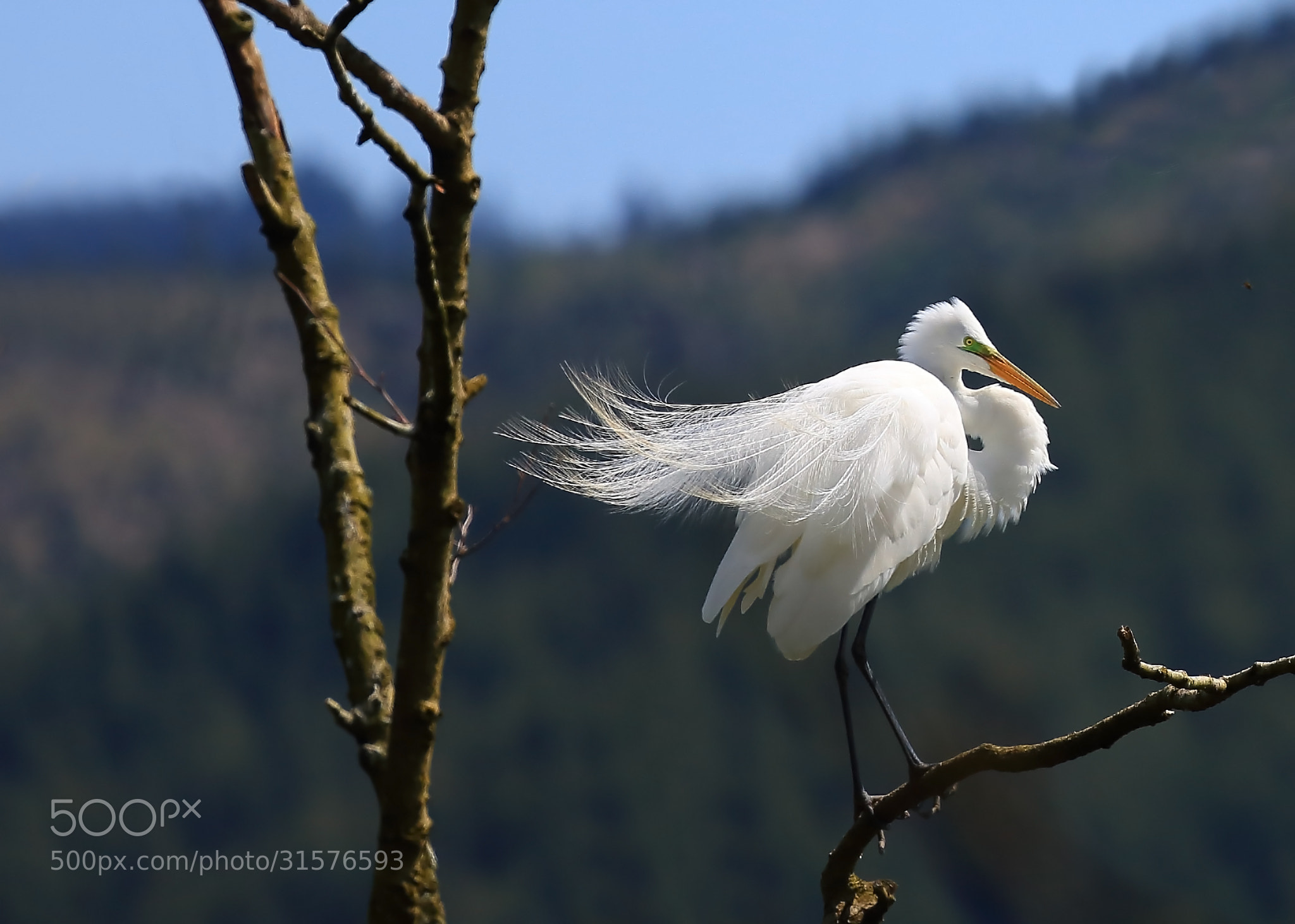 Photograph Great White Egret by Robert Bynum on 500px