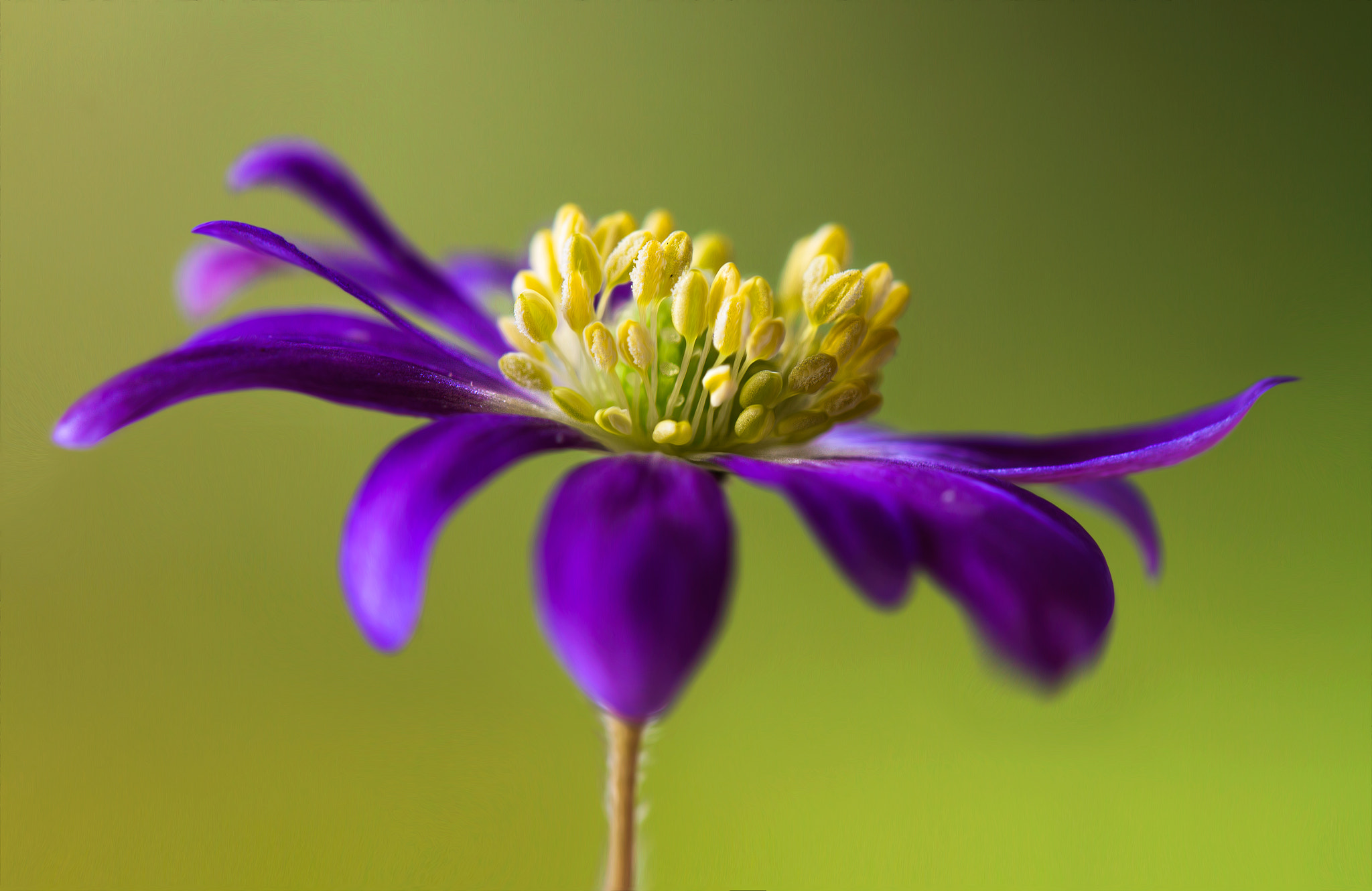 Photograph Anemone by Mandy Disher on 500px