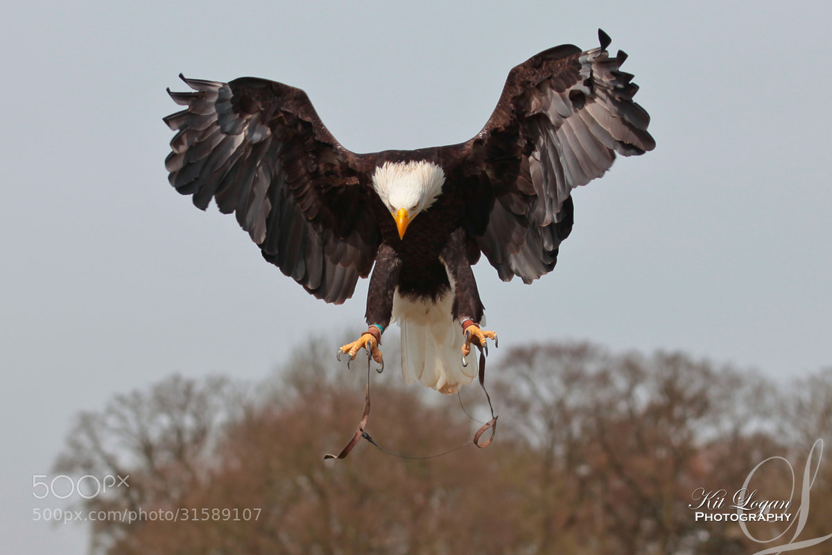 Photograph Bald Eagle by Kit Logan on 500px
