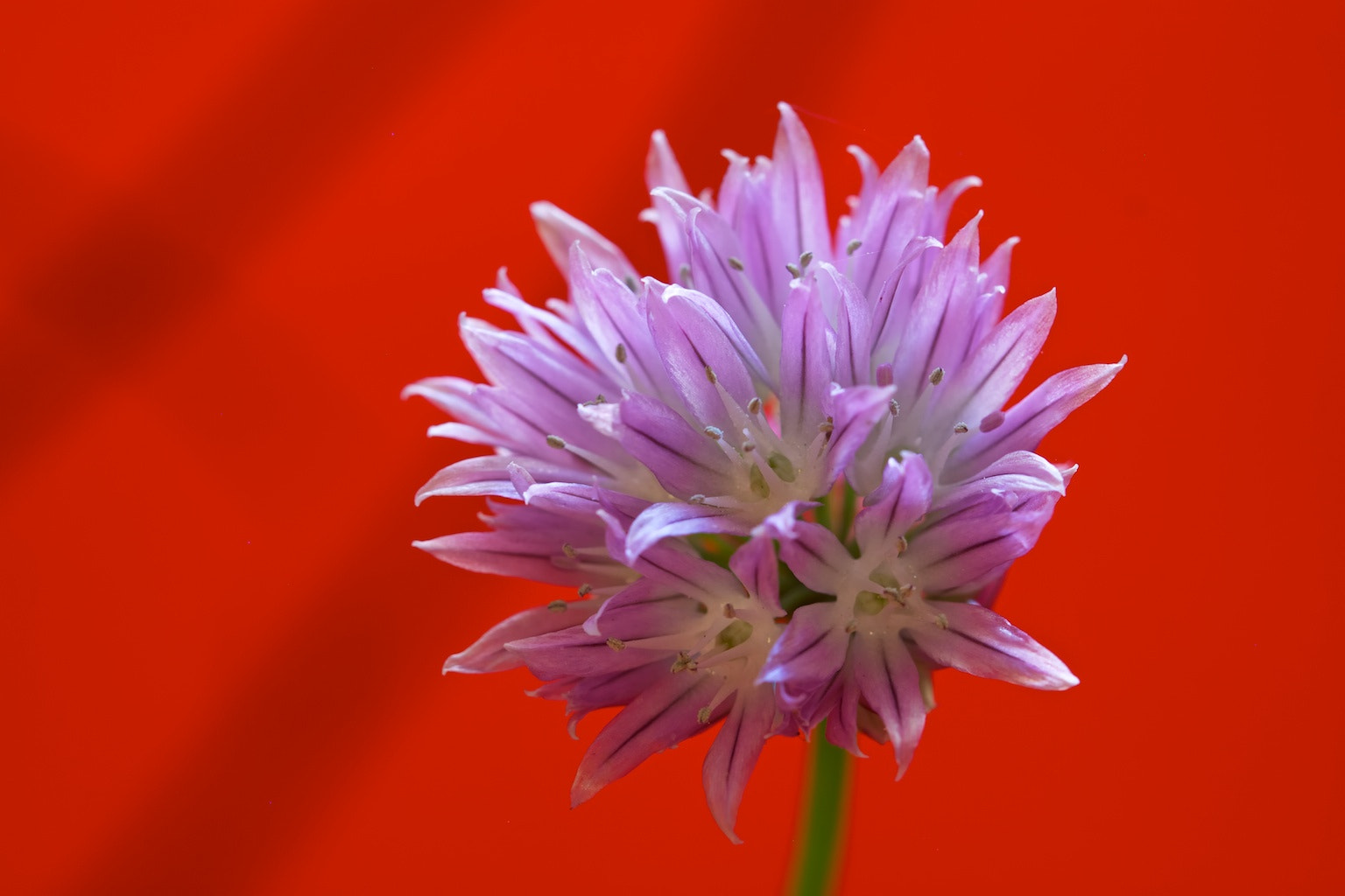 Photograph Chives in Red by Earl Bones on 500px