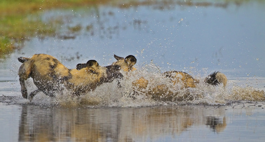Wild Dogs love to play in the evenig before going to bed, especially after a nice supper of Zebra!  Taken in Savute Marsh, Chobe National Park, Botswana.
