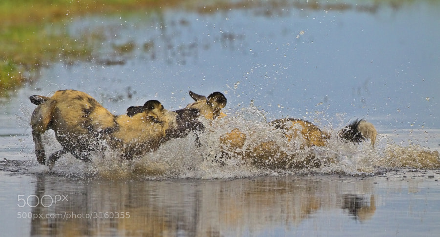 Wild Dogs love to play in the evenig before going to bed, especially after a nice supper of Zebra!