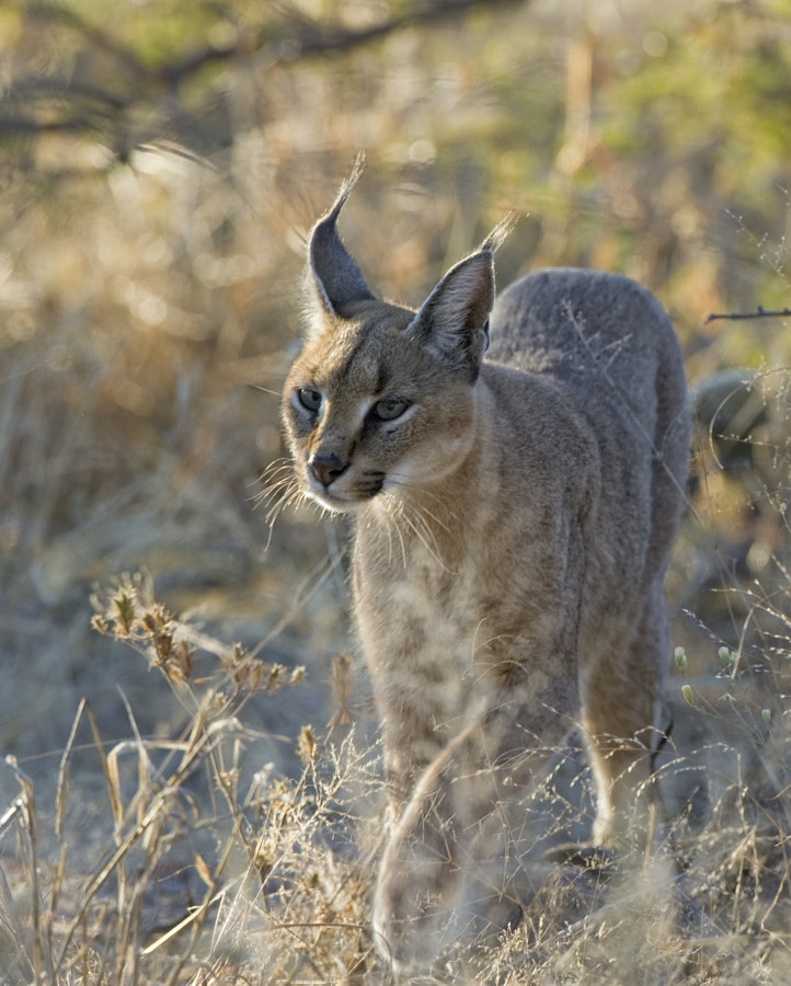 A rare sighting in dytlight of a Caracal, in rather poor light, taken in Etosha National Park, Namibia
