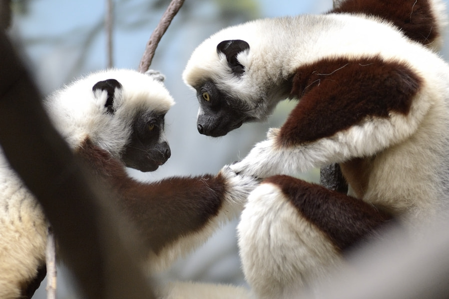 Photograph Lemurs Shaking Hands by Ballroom Pics on 500px