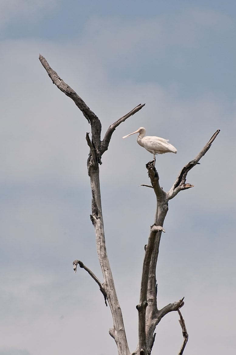 Photograph Spoonbill up on high by Jason Ruth on 500px