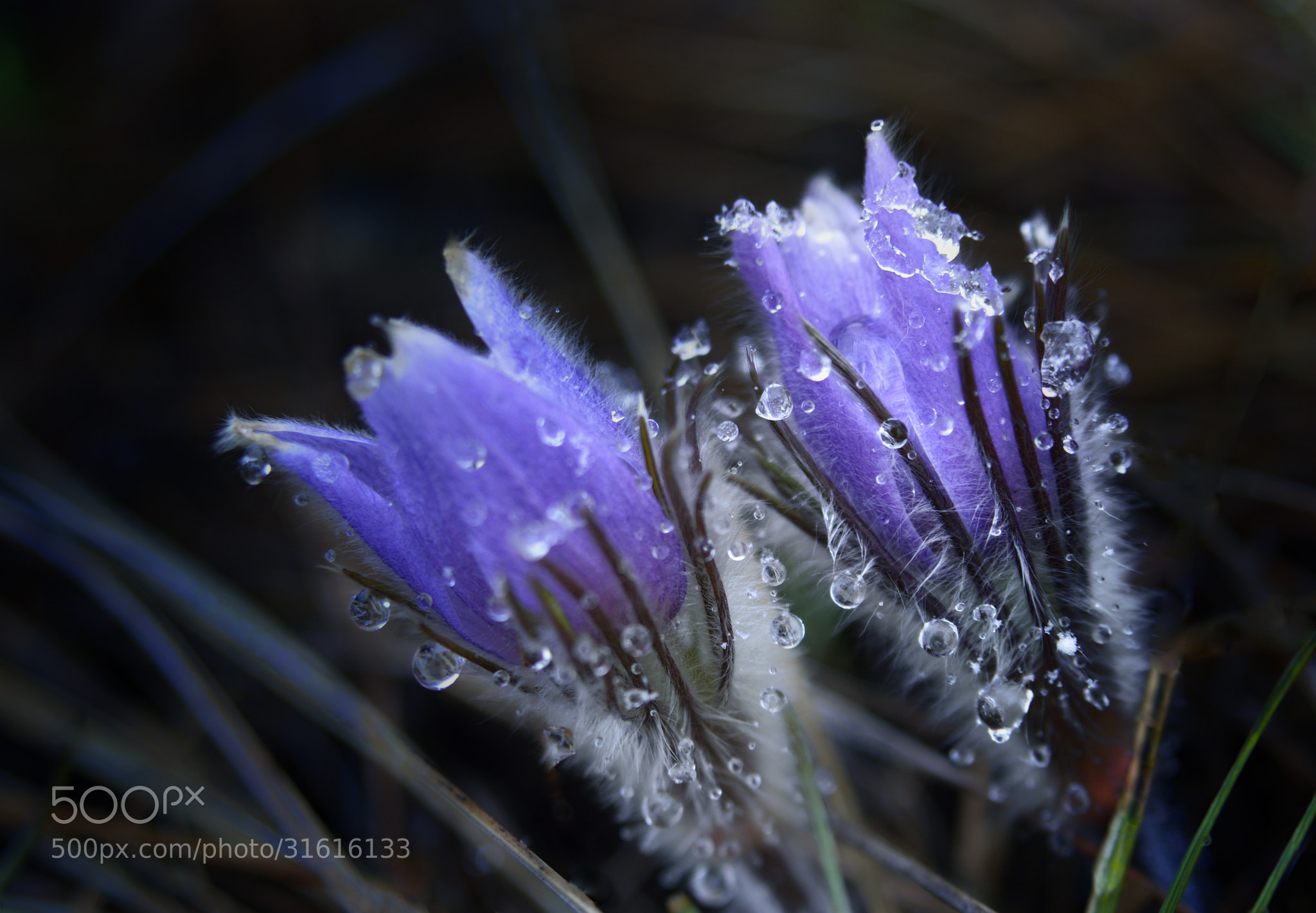 Photograph Flower, Ice and Snow - Calgary's April by Shuchun D on 500px