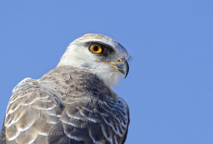 This Black Shouldered Kite becomes aware of our presence as we snuck up behind him, Etosha National Park, Namibia