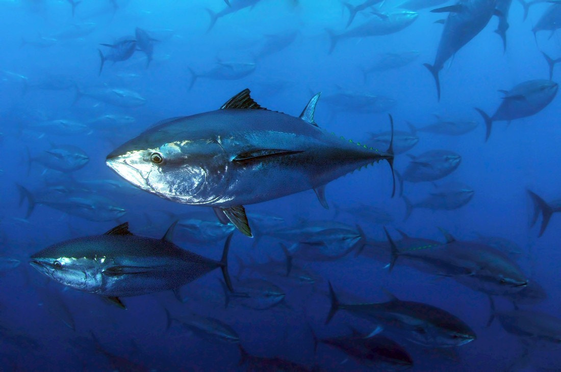 Photograph Blue Fin Tuna  by ColorsofOceans on 500px