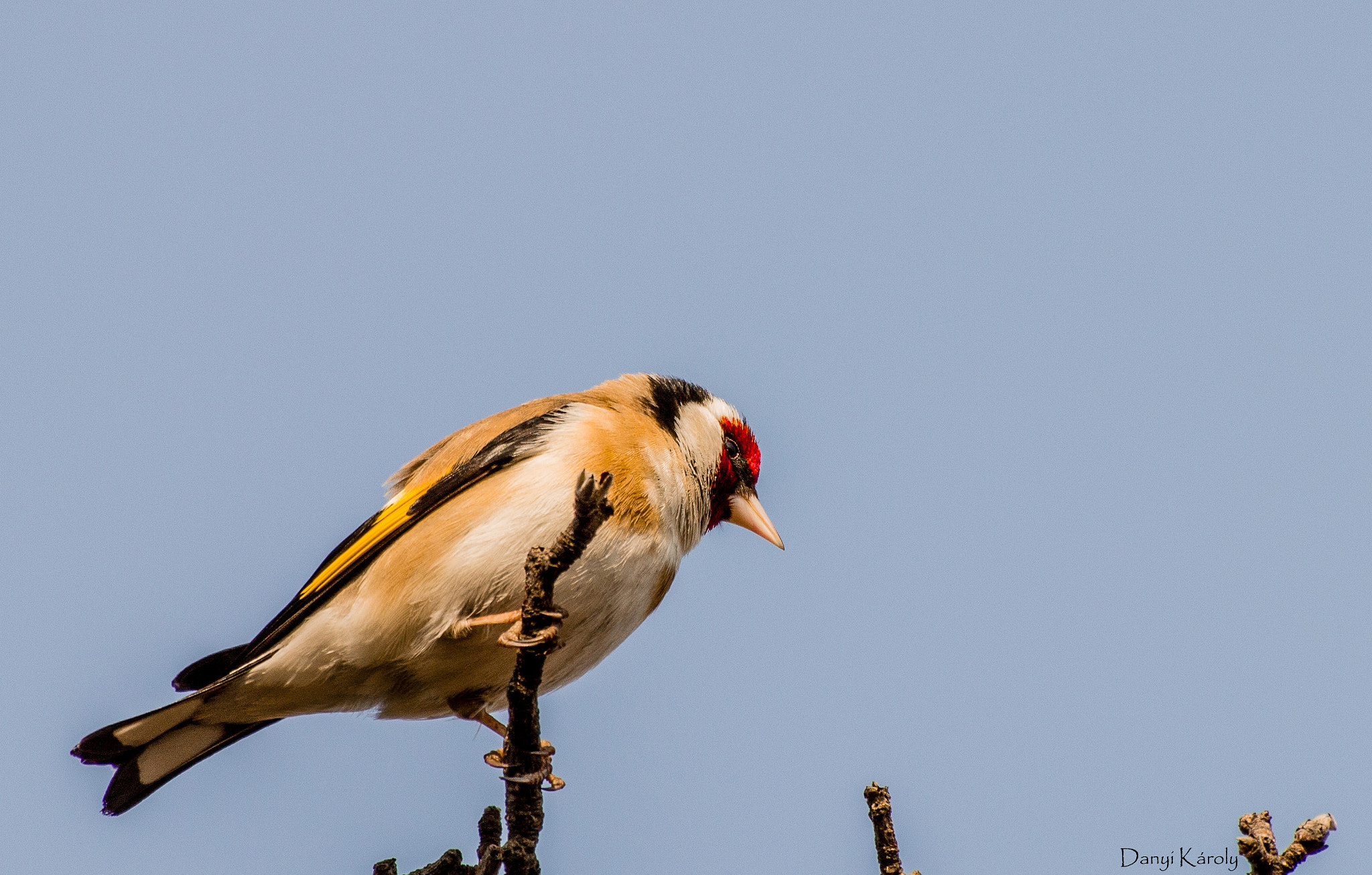 Photograph  European Goldfinch by Károly Danyi on 500px