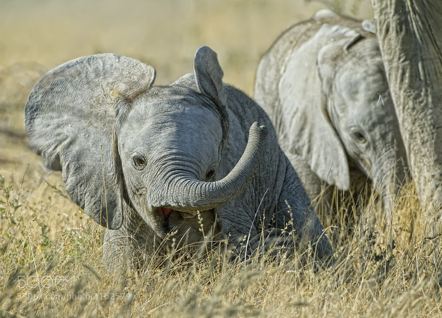 These two Elephants were with the same female and both fed from her, so who knows it may have been twins (it happens), taken in Etosha National Park, Namibia